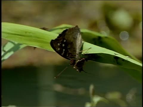 stockvideo's en b-roll-footage met a moth clings to a leaf. - ongewerveld dier