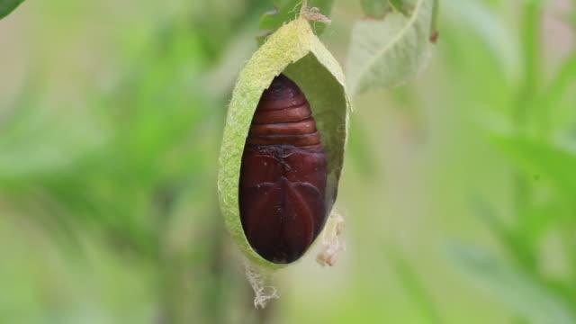 vidéos et rushes de moth cocoon on oak tree - biologie
