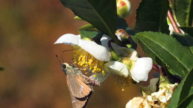 moth drinking nectar from the flower of tea plant - moth stock videos & royalty-free footage