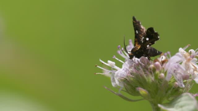 Moth feeding on mint flowers
