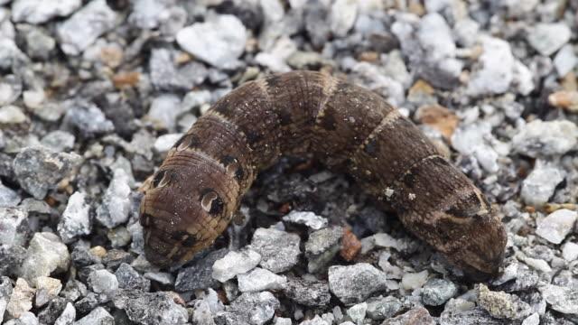 moth (rhagastis mongoliana) larvae - brown stock videos & royalty-free footage