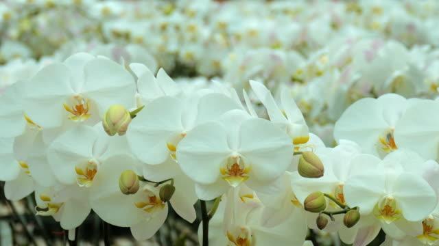 cu moth orchid (phalaenopsis) farm, ubud, bali, indonesia - ubud district stock videos & royalty-free footage