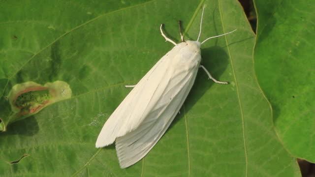 moth (spilarctia subcarnea) - gliedmaßen körperteile stock-videos und b-roll-filmmaterial