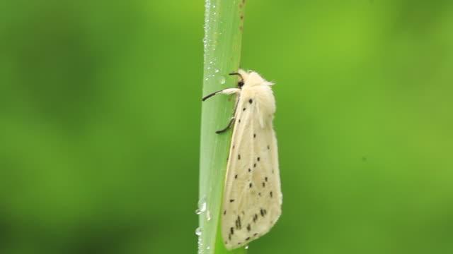 moth (naxa seriaria) - gliedmaßen körperteile stock-videos und b-roll-filmmaterial