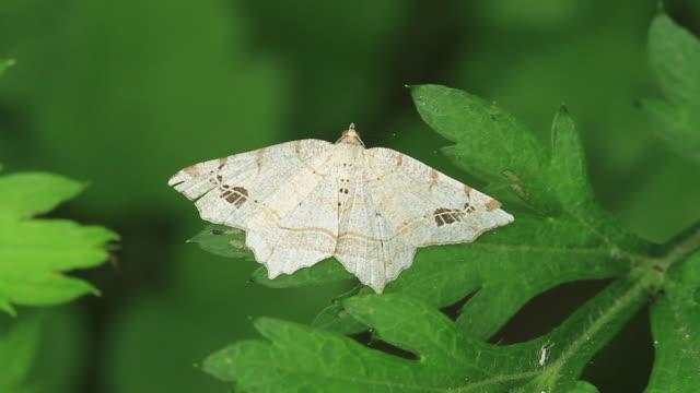 moth (geometridae) - gliedmaßen körperteile stock-videos und b-roll-filmmaterial