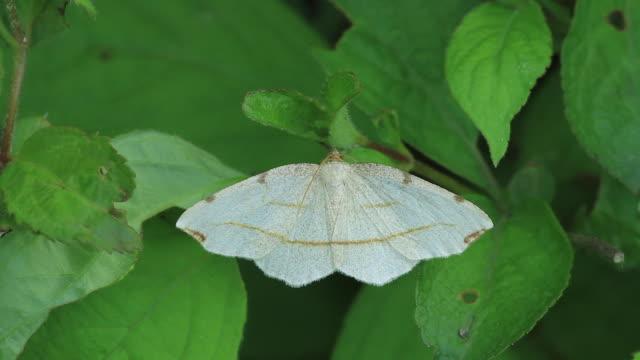 moth (timandra comptaria) - gliedmaßen körperteile stock-videos und b-roll-filmmaterial