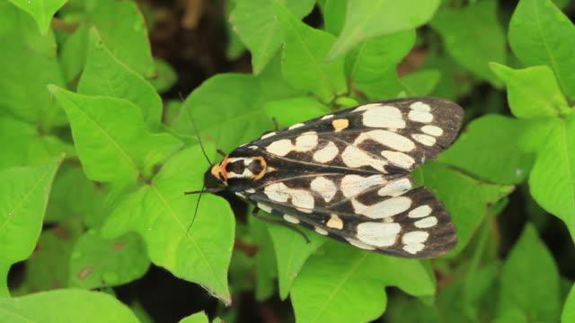moth (aglaeomorpha histrio) - gliedmaßen körperteile stock-videos und b-roll-filmmaterial