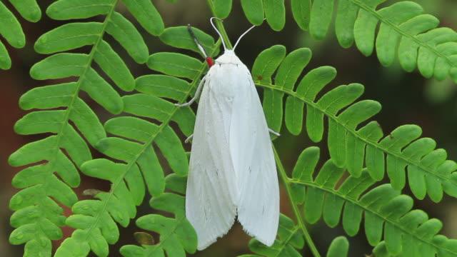 moth (chionarctia nivea) - gliedmaßen körperteile stock-videos und b-roll-filmmaterial