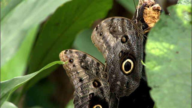 a moth with a large spot on each wing hangs from a piece of fruit. - tarnung stock-videos und b-roll-filmmaterial