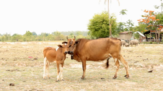 Mother and baby cow on rice fields.