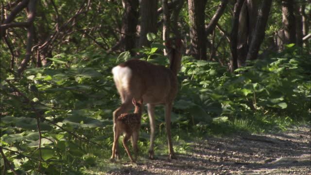 vídeos de stock, filmes e b-roll de mother and baby ezo deers in hokkaido  - corça