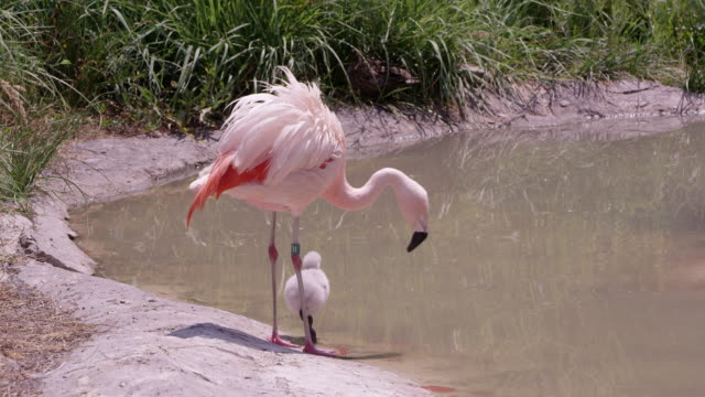 mother and baby flamingo standing on the edge of a pond - flamingo chick stock videos & royalty-free footage