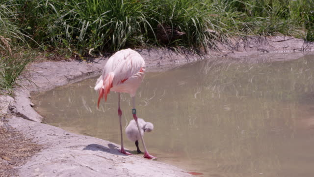 mother and baby flamingo standing on the edge of a pond - 雛鳥点の映像素材/bロール
