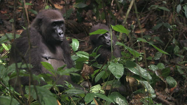 Mother and baby G. g. gorilla sitting in the bush of tropical jungle