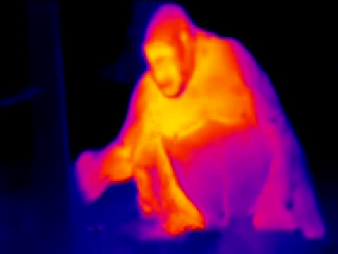 mother and baby gorilla (gorilla gorilla), thermography. the curious baby approaches the camera.. - thermal imaging stock videos & royalty-free footage