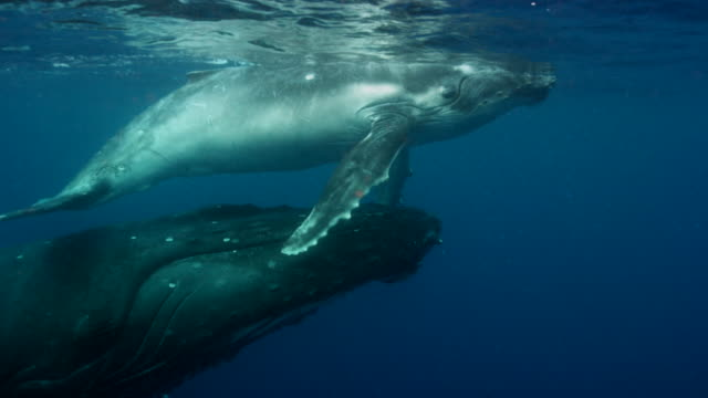 mother and baby humpback whales swimming in the ocean near the equator - young animal stock videos & royalty-free footage
