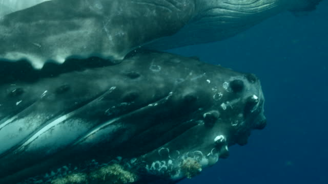 mother and baby humpback whales swimming in the ocean near the equator - animal body part stock videos & royalty-free footage
