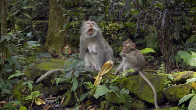 Mother and baby monkey eating bananas