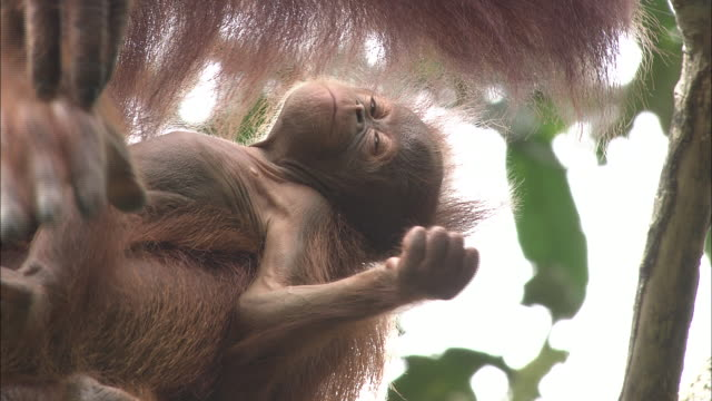 a mother and baby of orangutan in borneo, malaysia. - resting stock videos & royalty-free footage