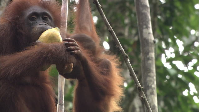 a mother and baby of orangutan in borneo, malaysia. - feeding stock videos & royalty-free footage