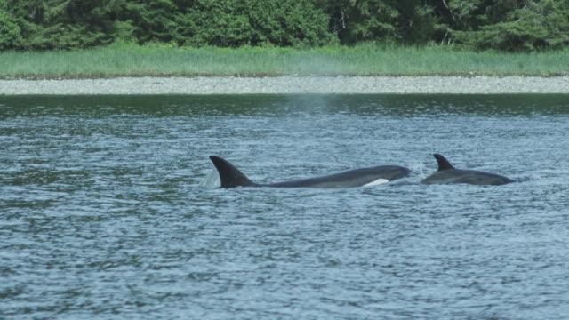 Mother and baby orca (killer whale) surface near coast, Alaska, 2011