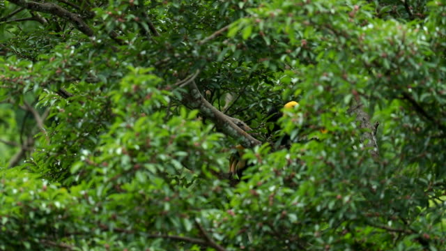 Mother and Baby Oriental pied hornbill on the tree in the forest, slow motion