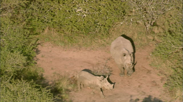 AERIAL WS Mother and baby rhinoceros in shrubbery, Phinda Nature Reserve, KwaZulu Natal, South Africa