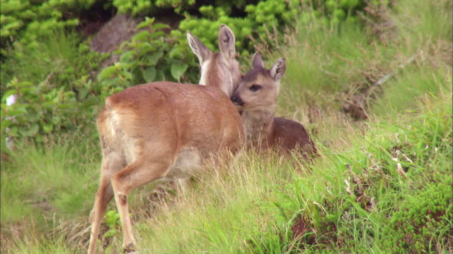vidéos et rushes de mother and baby roe deers grooming each other in jeju island, south korea - famille du cerf