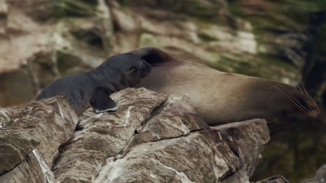 mother and baby sea lions on the beach / punta san juan, peru, south america - seal animal stock videos & royalty-free footage
