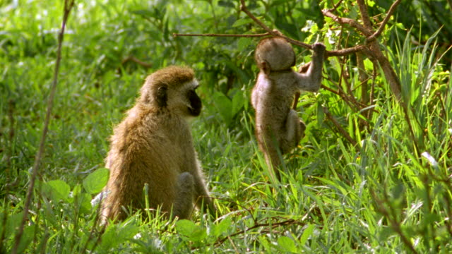 ms mother and baby vervet monkeys, baby jumping at twig / tanzania - young animal video stock e b–roll