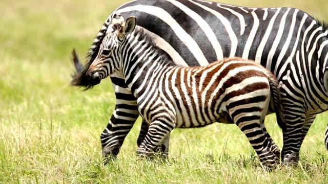 mutter und baby-zebra grasen in savannah - jungtier stock-videos und b-roll-filmmaterial