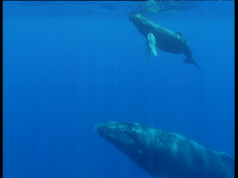 mother and calf humpback whale surface in blue ocean, hawaii - cetacea stock videos & royalty-free footage