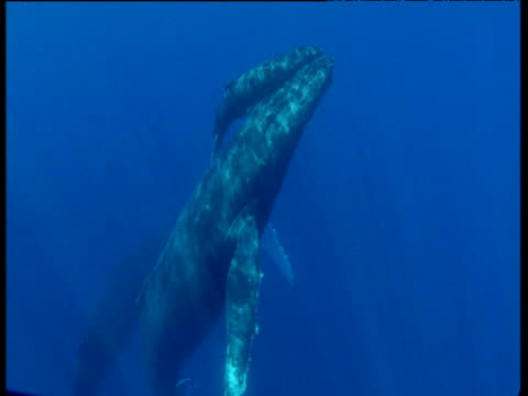 mother and calf humpback whale surface in blue ocean, hawaii - babyhood stock videos & royalty-free footage