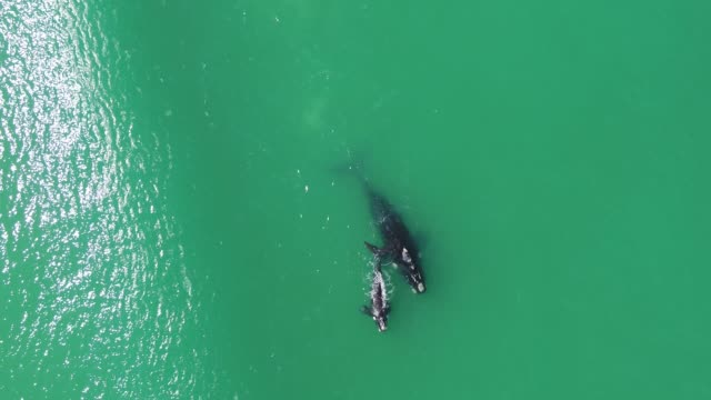 mother and calf southern right whale playing in false bay, cape town - southern right whale stock videos & royalty-free footage