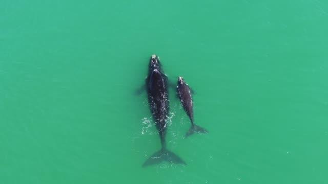 vídeos de stock e filmes b-roll de mother and calf southern right whale - cetáceo