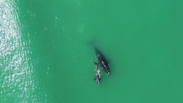 mother and calf southern right whale - southern right whale stock videos & royalty-free footage