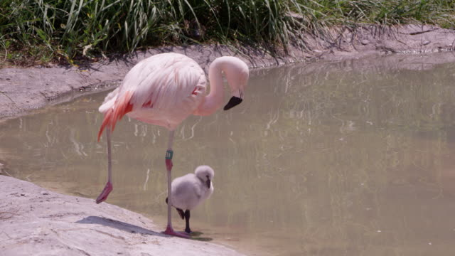 mother and chick flamingo standing on one leg - flamingo chick stock videos & royalty-free footage