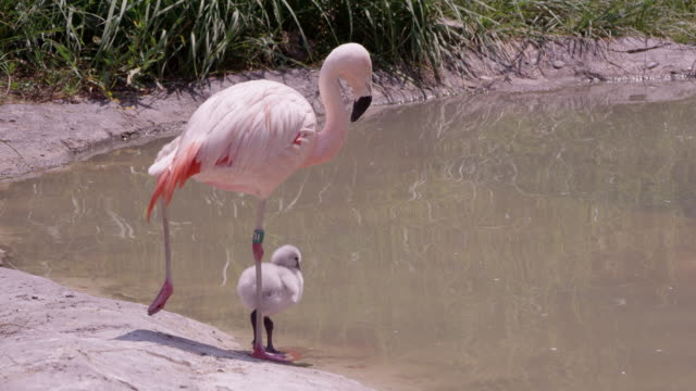 mother and chick flamingo standing on one leg - young bird stock videos & royalty-free footage