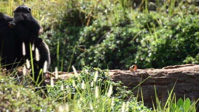 stockvideo's en b-roll-footage met mother and child chimpanzee - kleine groep dieren