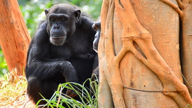 mother and child chimpanzee - small group of animals stock videos & royalty-free footage