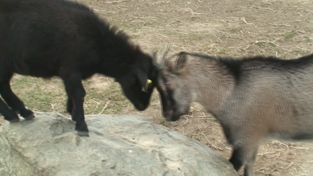 mother and child goat playing - animal head stock videos & royalty-free footage