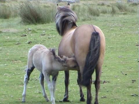 stockvideo's en b-roll-footage met mother and child pony in dartmoor - west europa
