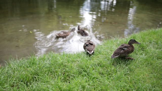 mother and daughter feeding the ducks in park - mid length hair stock videos & royalty-free footage