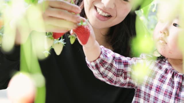 vidéos et rushes de mère et descendant récoltant la fraise dans le domaine - cueillir