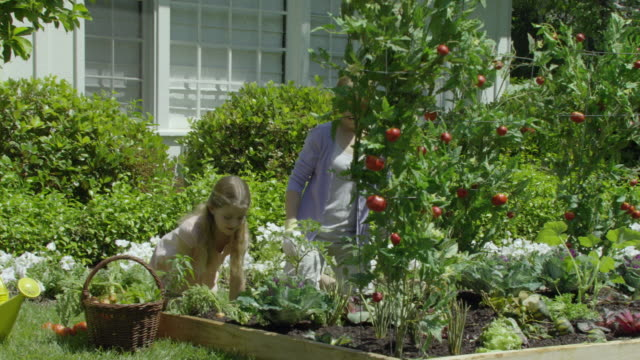 ms pan mother and daughter (8-9) harvesting vegetables from  garden, encino, california, usa - gärtnern stock-videos und b-roll-filmmaterial