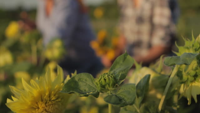 ms tu r/f mother and daughter (12-13) picking sunflowers in field / lebonan township, new jersey, usa - skörda bildbanksvideor och videomaterial från bakom kulisserna