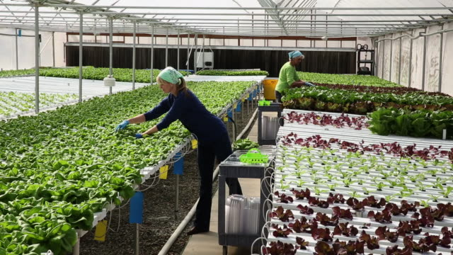 vidéos et rushes de ws ds mother and daughter small business owners working in hydroponic lettuce farm greenhouse / richmond, virginia, united states - protection de l'environnement