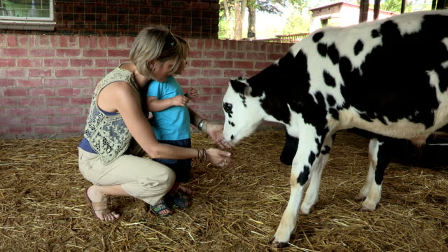 mother and pre-school toddler feeding a baby calf - kalb stock-videos und b-roll-filmmaterial