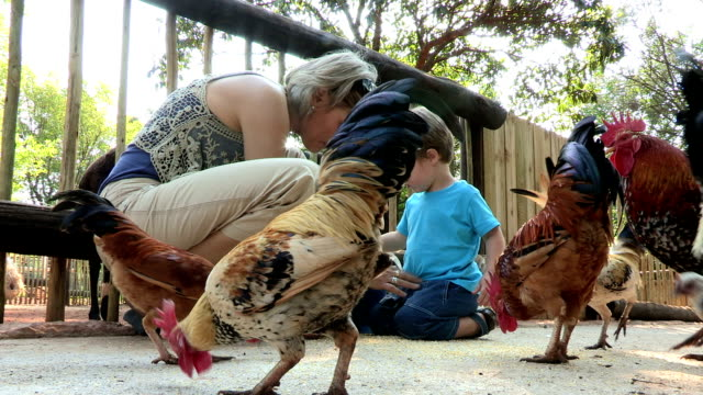 mother and pre-school toddler feeding chickens - füttern stock-videos und b-roll-filmmaterial