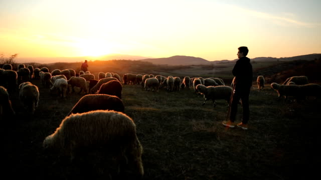 mother and son past sheep grazing on hillside.family,sunset - shepherd stock videos & royalty-free footage